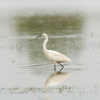 Egretta garzetta or small white heron