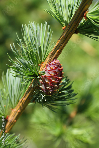Branch with cone. Larix leptolepis