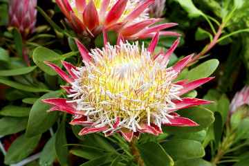 Pink Little Prince protea plant (Cynaroides) in bloom.