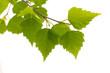 Obrazy na płótnie, fototapety, zdjęcia, fotoobrazy drukowane : Birch leaves of the tree.