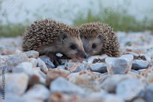 Cute hedgehog, wildlife