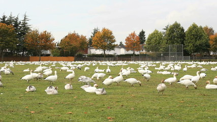 Snowgeese on a Sports Field