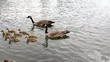 Canada Geese and Goslings Swimming Willamette River
