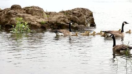 Canada Geese and Goslings Swimming along Willamette River