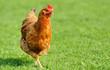 Leinwandbild Motiv Brown chicken