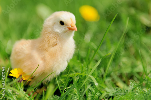 Staande foto Kip Little chicken