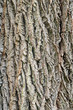 The bark of black walnut (Juglans nigra)