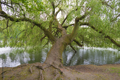 Willow on the shore of a lake