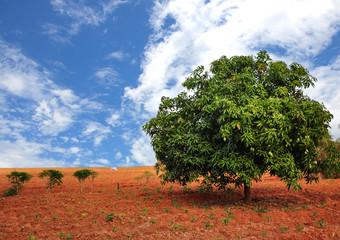 Mango tree.