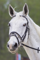 portrait of white horse