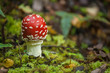 fly agaric growing on moss