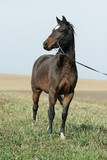Portrait of welsh part-bred mare with halter poster