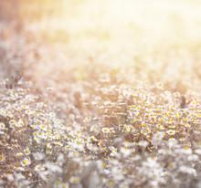 Daisy prairie