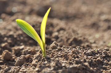 jeune pousse de maïs