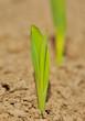 jeunes pousses de maïs