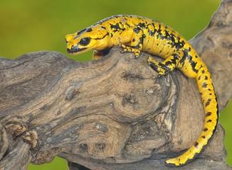 Salamandra común.