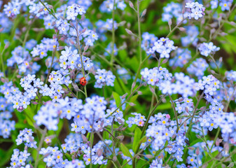 Forget-me-not and a ladybug