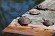 Four turtles taking a sun bath