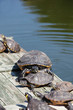 Turtles taking a sunbath