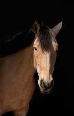 Portrait of a dun horse  on dark background