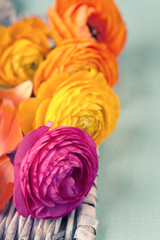 Close up of colorful ranunculus flowers