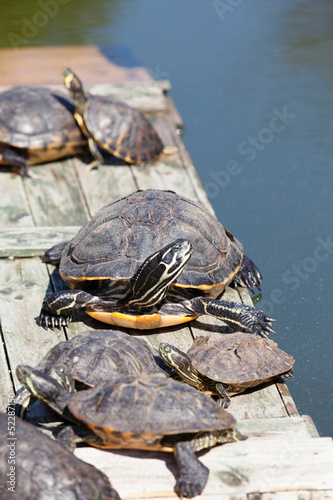 Turtles taking a sunbath on wooden platform