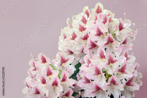 Pinkish-white rhododendron flowers