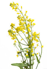 rapeseed flowers isolated on white