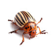 Colorado potato beetle isolated on white