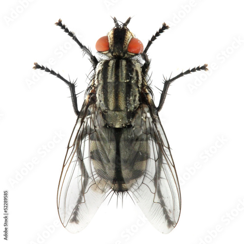 The House Fly (Musca domestica) dangerous carrier of pathogens.