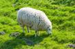 Grazing white sheep in winter coat