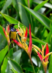 Sunbird on heliconia flowers