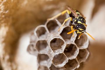 Paper Wasp Queen