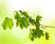 spring green maple branch