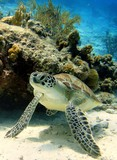 Resting Green Sea Turtle