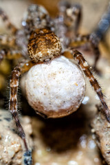 Female Wolf Spider