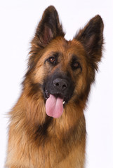 Portrait of a long hair German shepherd
