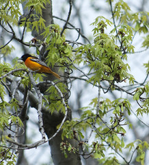 beautiful baltimore oriole sitting on a branch