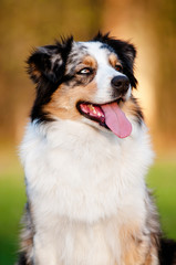 beautiful australian shepherd dog portrait
