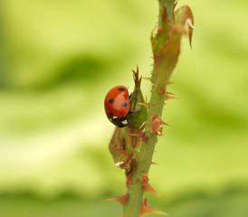 Ladybug attack aphids