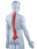 Spine position anatomy man isolated posterior view