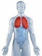 Lungs position anatomy man isolated