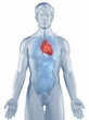 Heart position anatomy man isolated