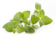 Green oregano leaves, isolated