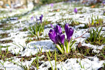 beautiful violet crocus flowers on snow