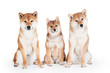 two shiba inu dogs with a puppy
