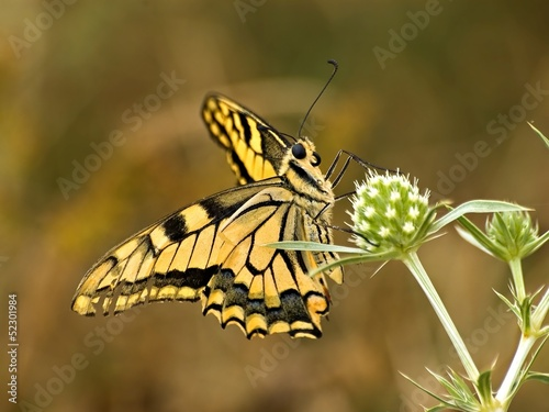 Swallowtail (Papilio machaon L.)