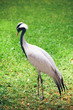 beautiful crane bird on green background