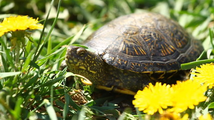 Tortoise on the Grass with Dandelions