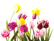 tulips on a isolated background